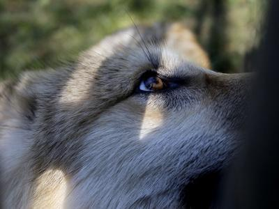 https://imgc.artprintimages.com/img/print/wolves-in-westchester_u-l-q10p0ip0.jpg?p=0