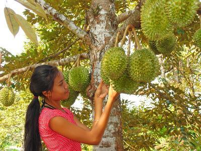 Woman Inspecting Durian Fruit-Bjorn Svensson-Photographic Print