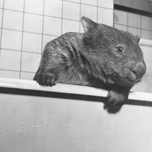 Wombat in a Bathtub