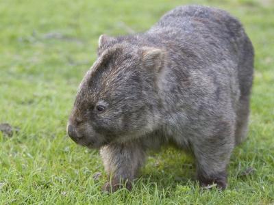 Wombat (Vombatus Ursinus), Wilsons Promontory National Park, Victoria, Australia-Thorsten Milse-Photographic Print