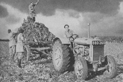 Women's Land Army Lifting a Crop, World War II, 1940