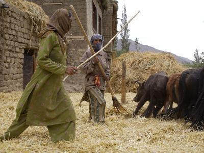 Women with Yaks Threshing Barley on the Road from Leh to Kargil-Steve Winter-Photographic Print