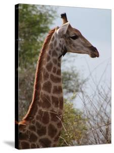 African Giraffe Savanna by Wonderful Dream