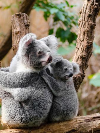 Australian Koala Bear Animal