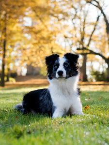 Australian Shepard Dog by Wonderful Dream
