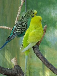 Budgie In The Nature by Wonderful Dream