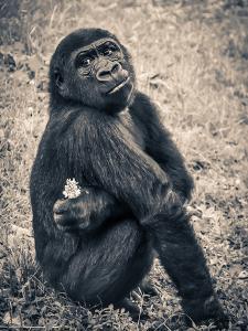 Chimpanzee Gorilla by Wonderful Dream