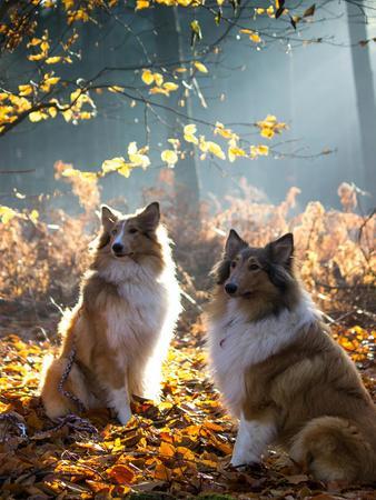 Collie Dog Pet Animal