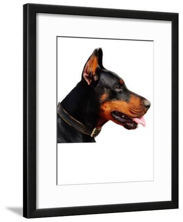 Doberman Dog Pet Friend