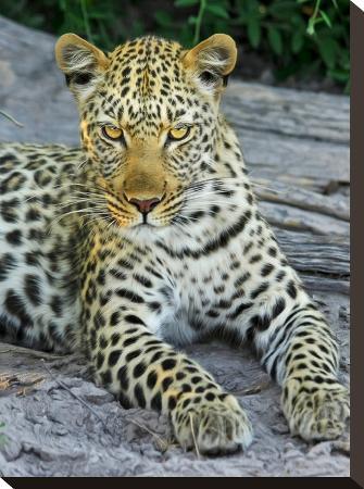wonderful-dream-leopard-animal-wildcat