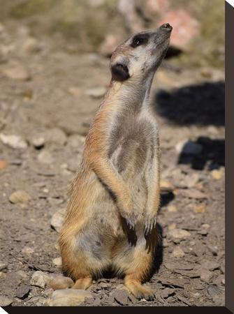 Meerkat In The Nature Wildlife