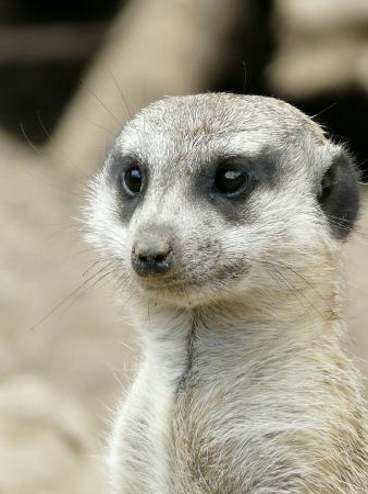 wonderful-dream-meerkat-mammal-africa-animal