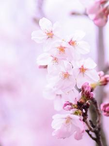 Pink Cherry Blossom Japan by Wonderful Dream