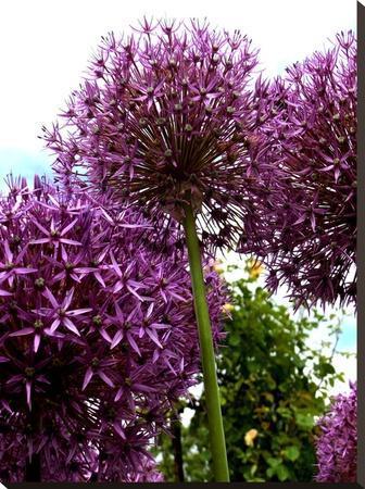 Purple Allium Flower 2