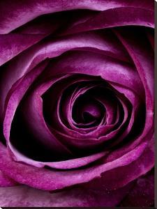 Purple Rose Of Love Valentine by Wonderful Dream