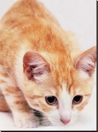 wonderful-dream-red-cute-cat-pet-friend