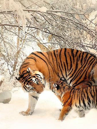 Tiger Family In The Snow