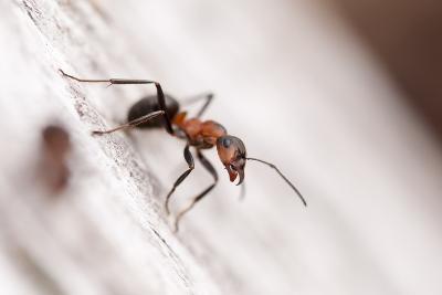 Wood Ant (Formica Rufa) Arne Rspb Reserve, Dorset, England, UK, July. 2020Vision Book Plate-Ross Hoddinott-Photographic Print