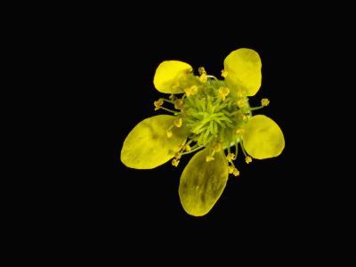 Wood Avens Flower-Solvin Zankl-Photographic Print