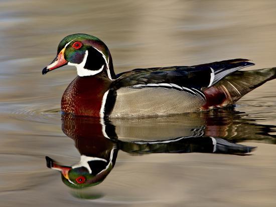 Wood Duck (Aix Sponsa) Drake Swimming, Sterne Park, Littleton, Colorado--Photographic Print
