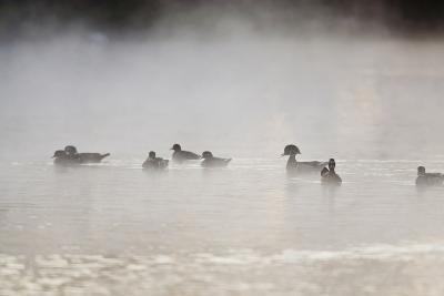 Wood Duck (Aix Sponsa) Flock on Comal River at Sunrise, Texas, USA-Larry Ditto-Photographic Print