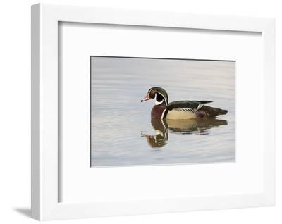 Wood Duck (Aix sponsa) male in wetland, Marion County, Illinois-Richard & Susan Day-Framed Photographic Print