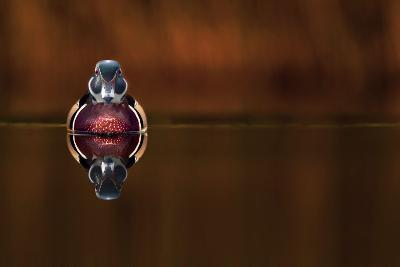 Wood Duck And His Reflex-Andre Villeneuve-Photographic Print