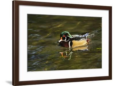 Wood Duck, Crystal Springs Rhododendron Garden, Portland, Oregon-Michel Hersen-Framed Photographic Print