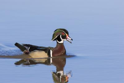 Wood Duck Male in Wetland, Marion County, Il-Richard and Susan Day-Photographic Print