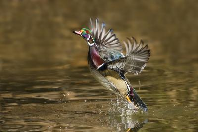 Wood Duck Male Takeoff from River-Larry Ditto-Photographic Print
