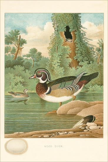 Wood Duck Nest and Eggs--Art Print