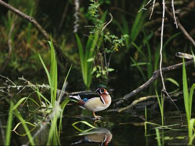 Wood Duck Reflected in Creek Water-Raymond Gehman-Photographic Print
