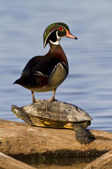 Wood Duck Standing on Red-Eared Slide on Log in Wetland, Marion Co. IL-Richard and Susan Day-Photographic Print