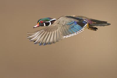 Wood Duck-Mircea Costina-Photographic Print