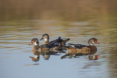 Wood Ducks, Divergent Directions, Lake Murray. San Diego, California-Michael Qualls-Photographic Print