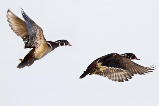 Wood Ducks Two Males in Flight in Wetland, Marion, Illinois, Usa-Richard ans Susan Day-Photographic Print