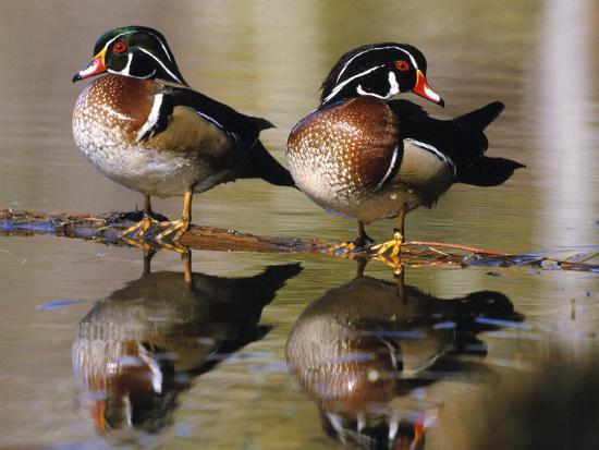Wood Ducks--Photographic Print