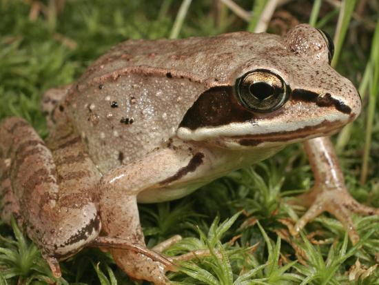 Wood Frog (Rana Sylvatica), Eastern and Northern North America-David Wrobel-Photographic Print