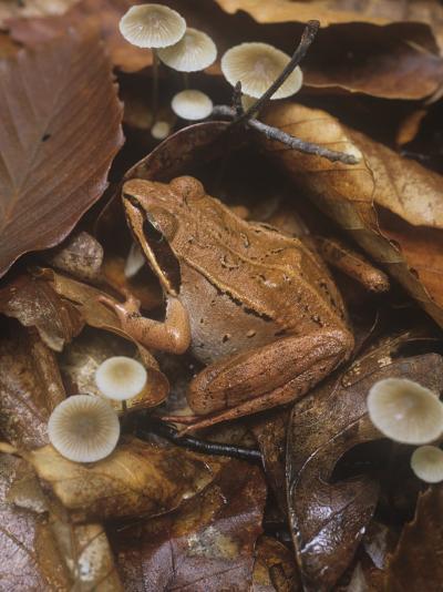 Wood Frog, Rana Sylvatica, Eastern North America-Gary Meszaros-Photographic Print