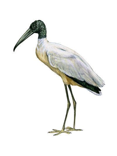 Wood Ibis (Mycteria Americana), Birds-Encyclopaedia Britannica-Art Print