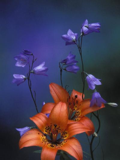 Wood Lily and Harebells, St. Ignace, Michigan, USA-Claudia Adams-Photographic Print