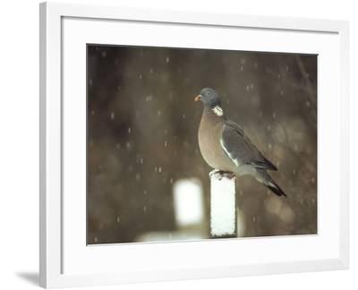Wood Pigeon, Columba Palumbus on Gravestone in Snow South Yorkshire-Mark Hamblin-Framed Photographic Print