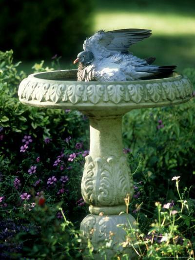 Wood Pigeon in Birdbath, UK-Ian West-Photographic Print