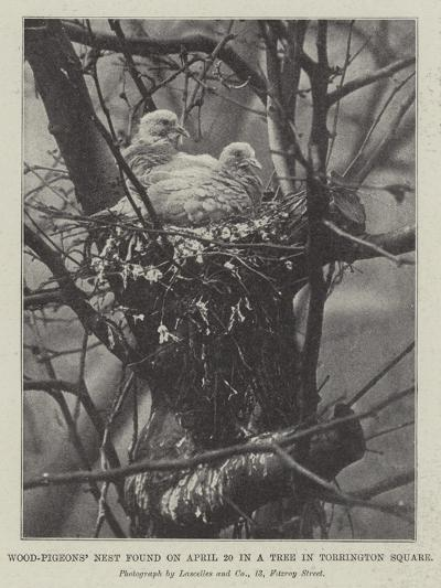 Wood-Pigeons' Nest Found on 20 April in a Tree in Torrington Square--Giclee Print