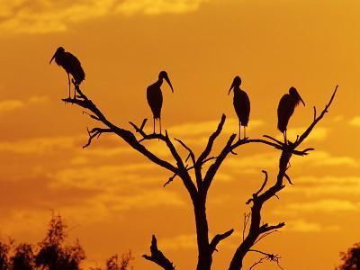 Wood Stork, Lake Corpus Christi, Texas, USA-Rolf Nussbaumer-Photographic Print