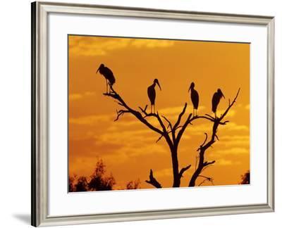 Wood Stork, Lake Corpus Christi, Texas, USA-Rolf Nussbaumer-Framed Photographic Print