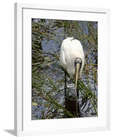 Wood Stork Looking for Fish, Everglades National Park, Florida--Framed Photographic Print