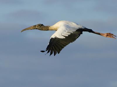 Wood Stork, Mycteria Americana, in Flight-Paul Sutherland-Photographic Print