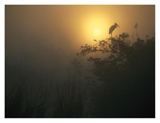 Wood Stork perched in tree, Everglades National Park, Florida-Tim Fitzharris-Art Print