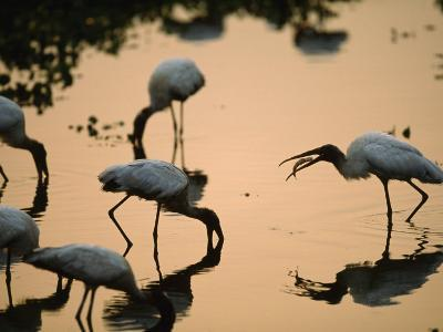 Wood Storks Fish in Floodwater-Joel Sartore-Photographic Print
